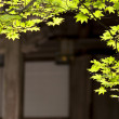 Japanese maple branch in fron tof the budhist temple — Stock Photo #66484891