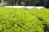 Green house for growing green tea — Stock Photo