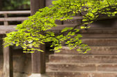 Japanese maple branch in fron tof the budhist temple — Stock Photo