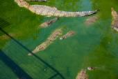 Coccodrilli in una fattoria — Foto Stock