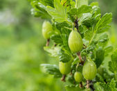 Berries of the gooseberry on branch — Stock Photo