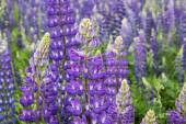 Flowering meadow flowerses of the lupine — Stock Photo