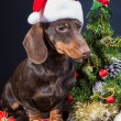 Dachshund with red santa cap near decorated Christmas tree — Stock Photo #52464781