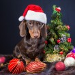 Dachshund with red santa cap near decorated Christmas tree — Stock Photo #52464787