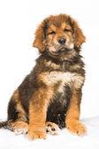 Trochę ochroniarz - czerwony szczeniaka mastifa tybetańskiego — Zdjęcie stockowe