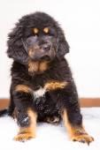 Black and red puppy of Tibetan mastiff — Zdjęcie stockowe