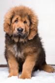 little security guard -  red puppy of Tibetan mastiff — Zdjęcie stockowe