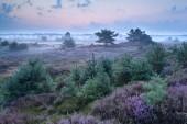 Flowering heather in misty morning — Stock Photo