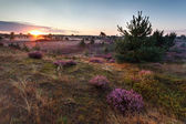 Sunrise over meadows with flowering heather — Stock fotografie