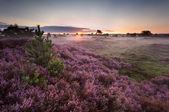Sunrise over flowering pink heather — Stock Photo