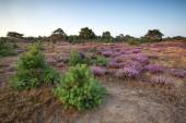 Flowering heather on meadows — Stock Photo