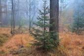 Spruce tree in misty forest — Fotografia Stock