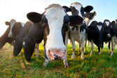 Funny cow on pasture close up — Stockfoto