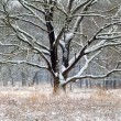 Old oak tree in snow during winter — Stock Photo #63814625