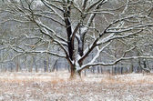 Old oak tree in snow during winter — Stock Photo
