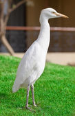 Egyptian heron bird — Stock Photo