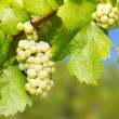 Wine grapes — Stock Photo #68718027