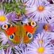 Peacock butterfly (Aglais io) — Stock Photo #68718301