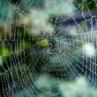 Spider web with drops of water at forest — Stock Photo #54869657