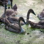 Little swan nestlings swimming on swamp — Stock Photo #54930949