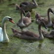 Family of swans swimming on pond at evening — Stock Photo #54930979