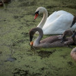 Adult swan and cygnet drinking water at lake — Stock Photo #54931123