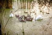 Two adult swans swimming with nestlings on lake at evening — Stock Photo