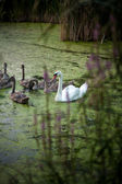 Photo of white swan on lake with cygnets — Stockfoto