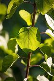 Backlit fresh green leaf on branch — Stock Photo