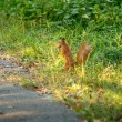 Red squirrel carrying nut standing up at high grass — Stock Photo #58288951