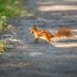 Red squirrel running on road and carrying nut — Stock Photo #58288983