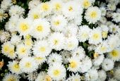 Photo of white flowerbed of chrysanthemums — Stock Photo