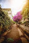 Road at old city grown with flowers of Bougainvillea  — Stock Photo