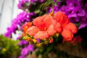 Bougainvillea pink and red flowers — Stock Photo