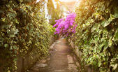 Road with growing Bougainvillea flowers at sunny day — Stock Photo
