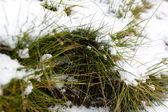 Closeup shot of melting snow covering fresh green grass — Stock Photo