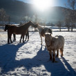 Outdoor shot of of farm with pasturing horses at winter sunny da — Stock Photo #66665351