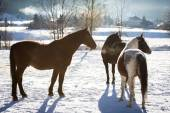 Three horses standing in outdoor paddock at sunny day — Stock Photo