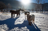 Outdoor shot of of farm with pasturing horses at winter sunny da — Stock Photo