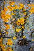 Texture of yellow and green lichen growing on gray stone — Stock Photo