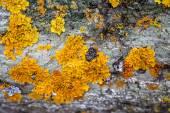 Beautiful yellow lichen covering gray granite — Stock Photo