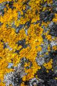 Yellow lichen and moss on gray stone — Stock Photo