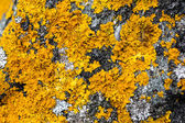 Texture of bright yellow lichen growing on granite — Stock Photo