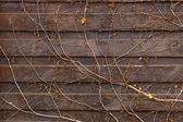 Texture of creeping plant growing on old wooden fence — Stock Photo