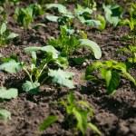 Rows of green lettuce growing on fertile soil at garden — Stock Photo #75944987