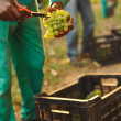 Farmer picking up the best quality grapes at vineyard — Stock Photo #81568804