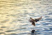 Female duck landing — Stock Photo