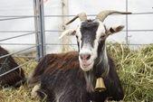 Goat close up — Stock Photo