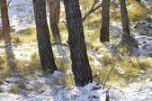 松の森 — ストック写真