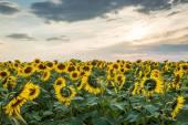Sunflower on sunset — Stock Photo